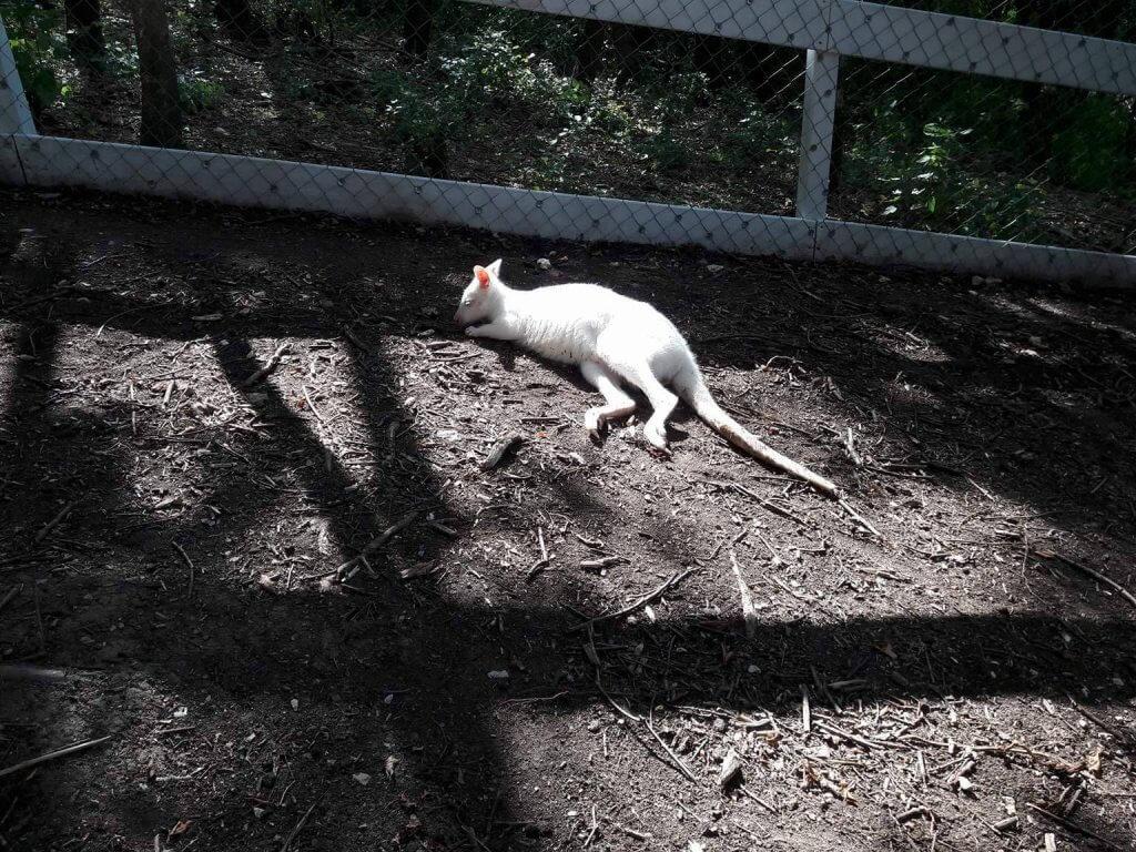 Biely klokan